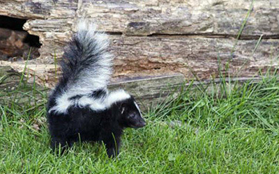 Top Five Signs That You Have a problem With Skunk or Other Animals