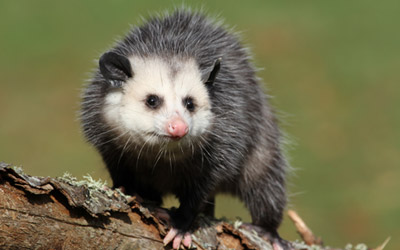easy-tips-prevent-opossum-invasion-home