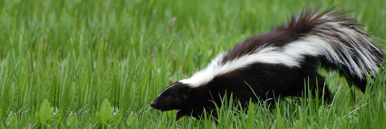 Skunk Removal Services