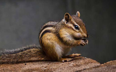 4 Tips To Remove Chipmunks From Your Property